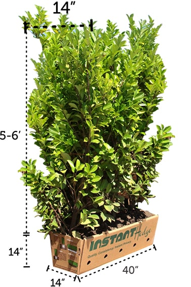 1-615284-Fagus-sylvatica-staging-harvested-(2)-three-hedge-units-pallet-biodegradable-cardboard-ready-to-ship