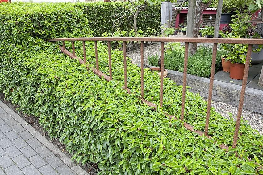 56529-prunus-lusitanica-portuguese-laurel-hedge-urban-suburban-varied-height-sculpture-contemporary-modern-path