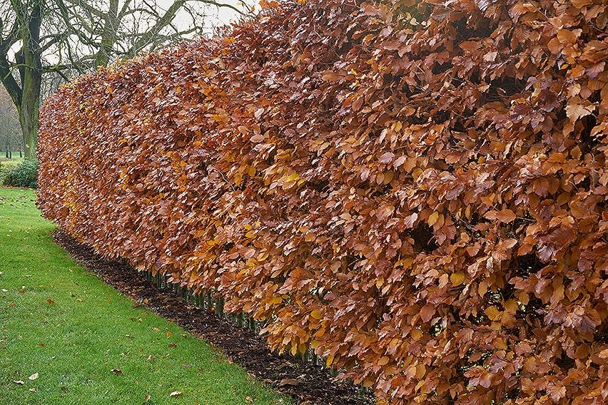 762386500-Fagus-winter-foliage-suburban-commercial-country