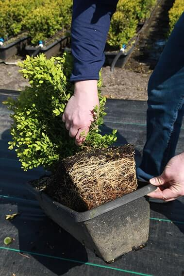 795653-Green-Mountain-Boxwood-root-development
