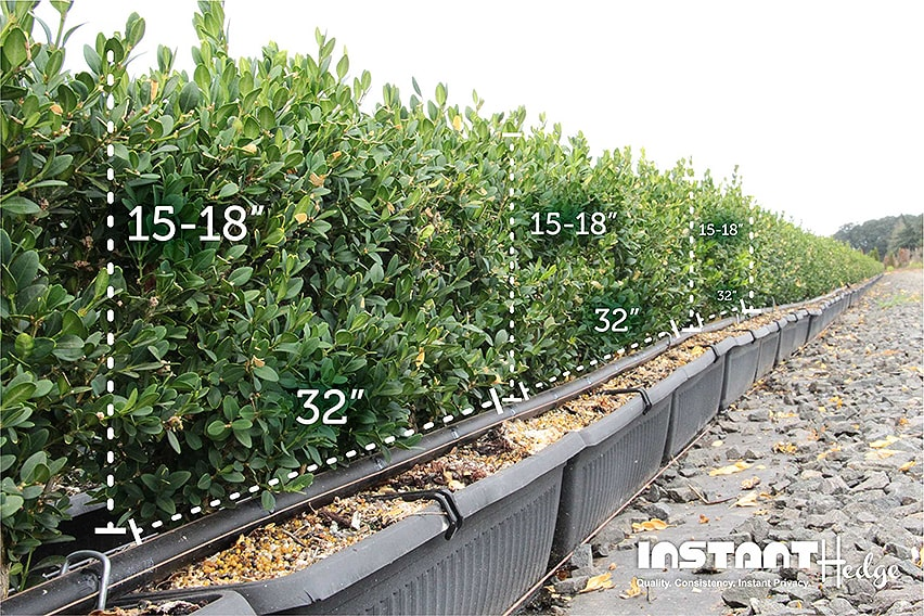 Boxwood-InstantHedge-18-inch-tall-dimensions-in-rows