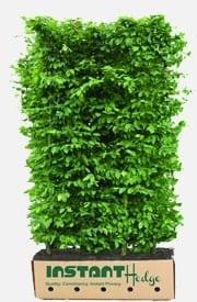 European Hornbeam Carpinus Betulus Hedge