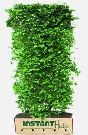 Cornelian Cherry Dogwood Cornus Mas Hedge