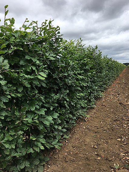 Fagus-sylvatica-3-4ft-three-four-feet-tall-hedge-InstantHedge-field