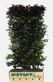 Fagus Sylvatica Atropurpurea Purple Beech Hedge