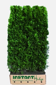 Thuja Occidentalis Smaragd Emerald Green Arborvitae Hedge