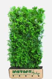 Thuja Occidentalis American Arborvitae Evergreen Hedge