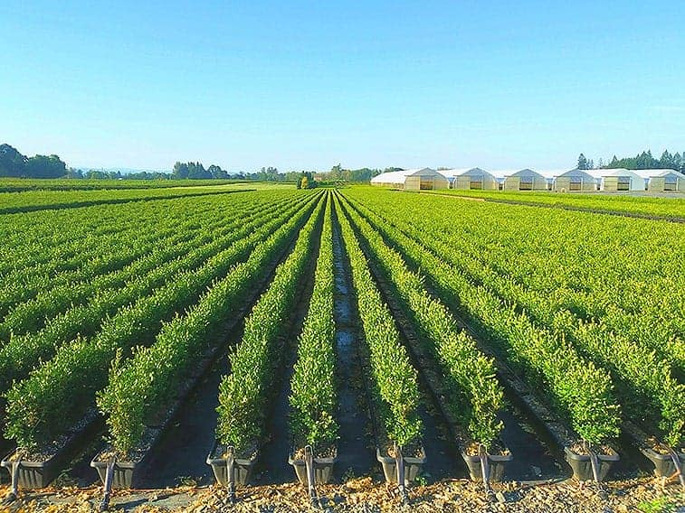boxwood-InstantHedge-field-rows-summer