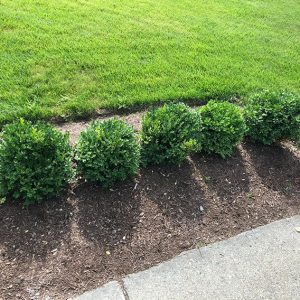 boxwood-buxus-hedge-traditional-conventional-individual-compare-with-InstantHedge