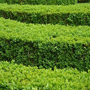 buxus-boxwood-hedge-modern-contemporary-layers-knot-garden