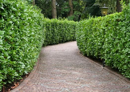 Evergreen Hedge Size