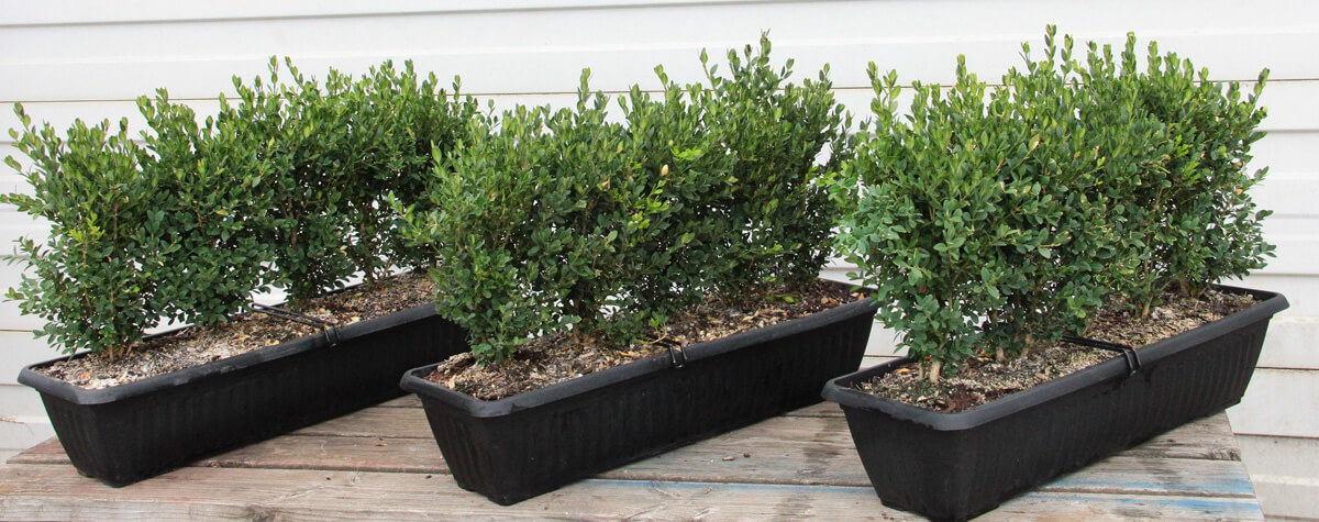 InstantHedge buxus boxwood green mountain hedge unit container
