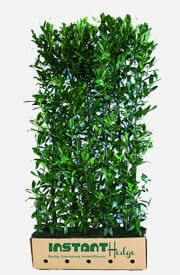 Prunus l Schipkaensis Cherry Laurel Hedge Plant