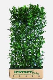 Prunus l Schipkaensis Schip Laurel Hedge
