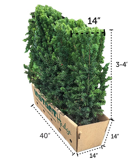 taxus yew InstantHedge unit three four feet tall box dimensions