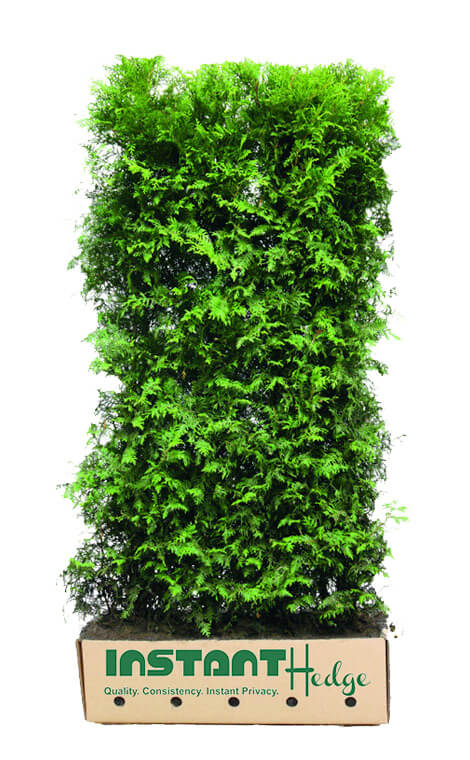 leyland cypress alternative