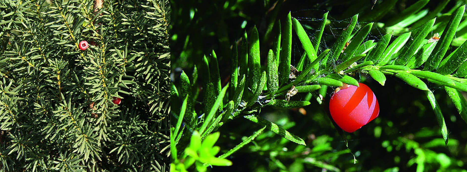 Taxus media hicksii hedge