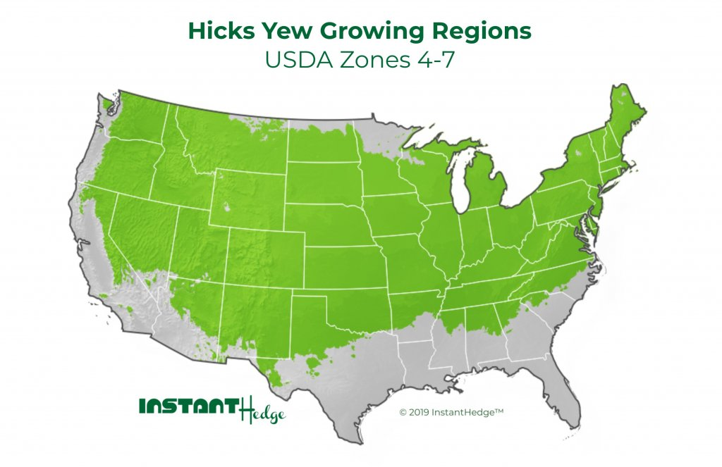 hicks yew shrub growing region. Yew hedge is ideal for USDA zone 4-7.