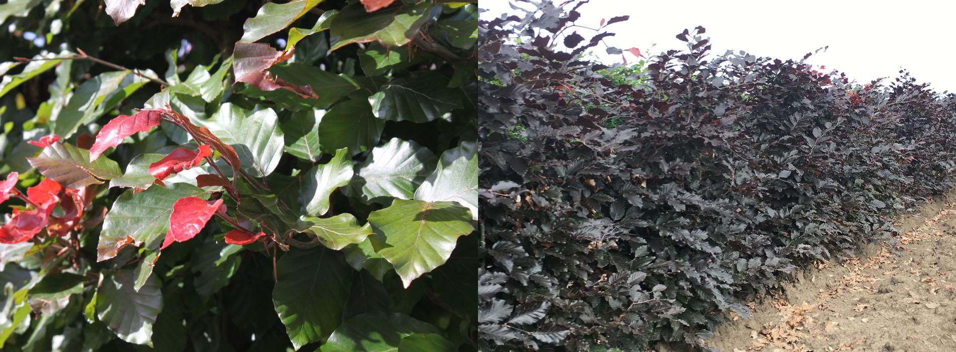 Purple beech is a great flowering hedge