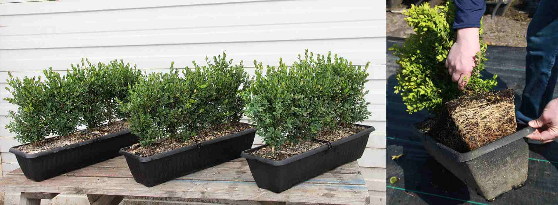 Buxus x green mountain boxwood hedge