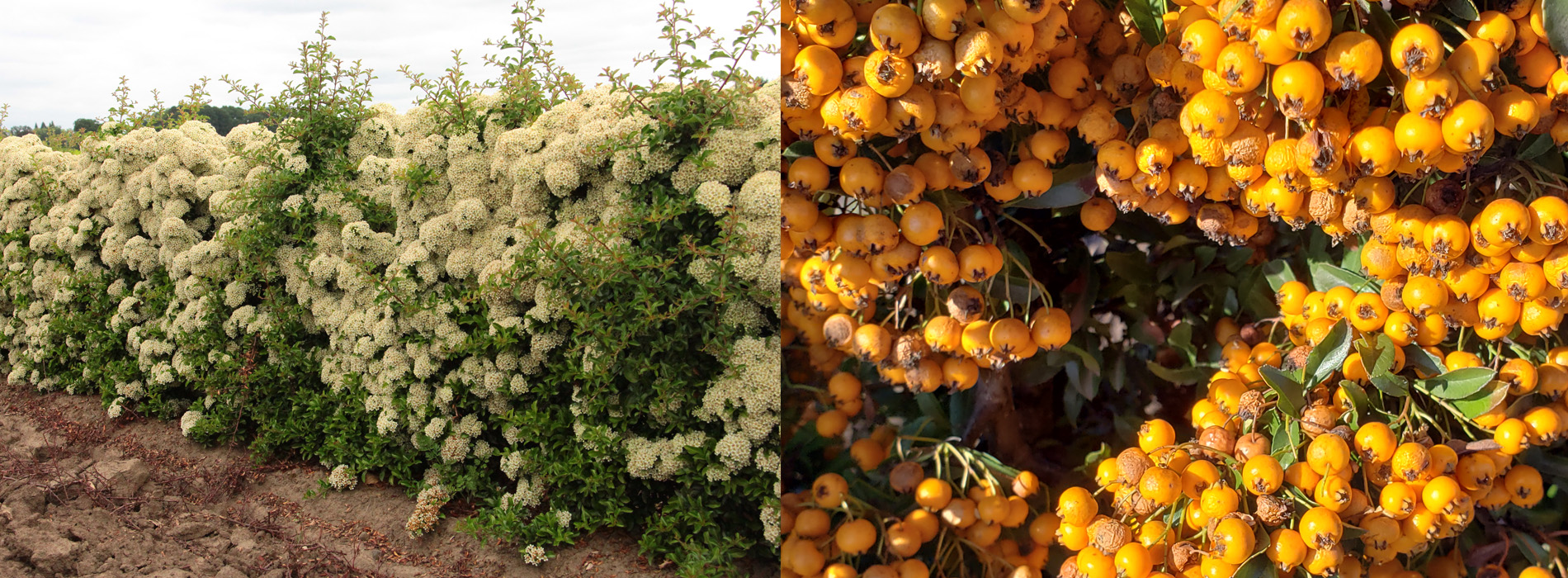 Best flowering hedges to consider