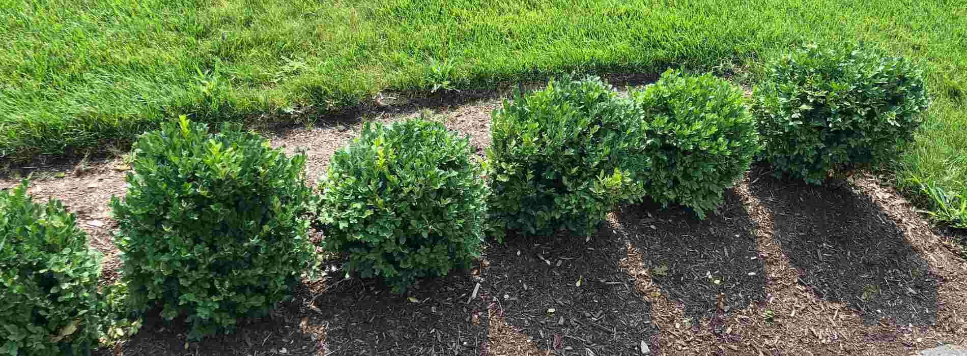 traditional boxwood hedge