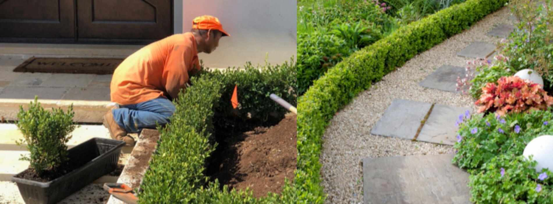 Boxwood InstantHedge