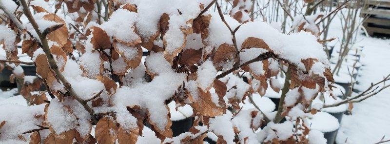 Fagus sylvatica tree in winters: European Beech looks beautiful in winters