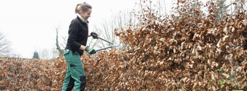 European beech hedge (Fagus Sylvatica) Pruning