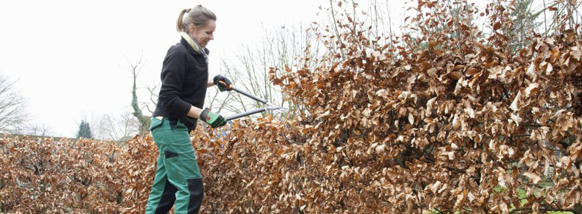 European beech hedge (Fagus Sylvatica) Pruning