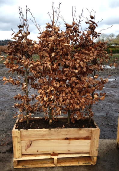 fagus hedge (Fagus Sylvatica): Stunning European Beech turns copper brown in winters