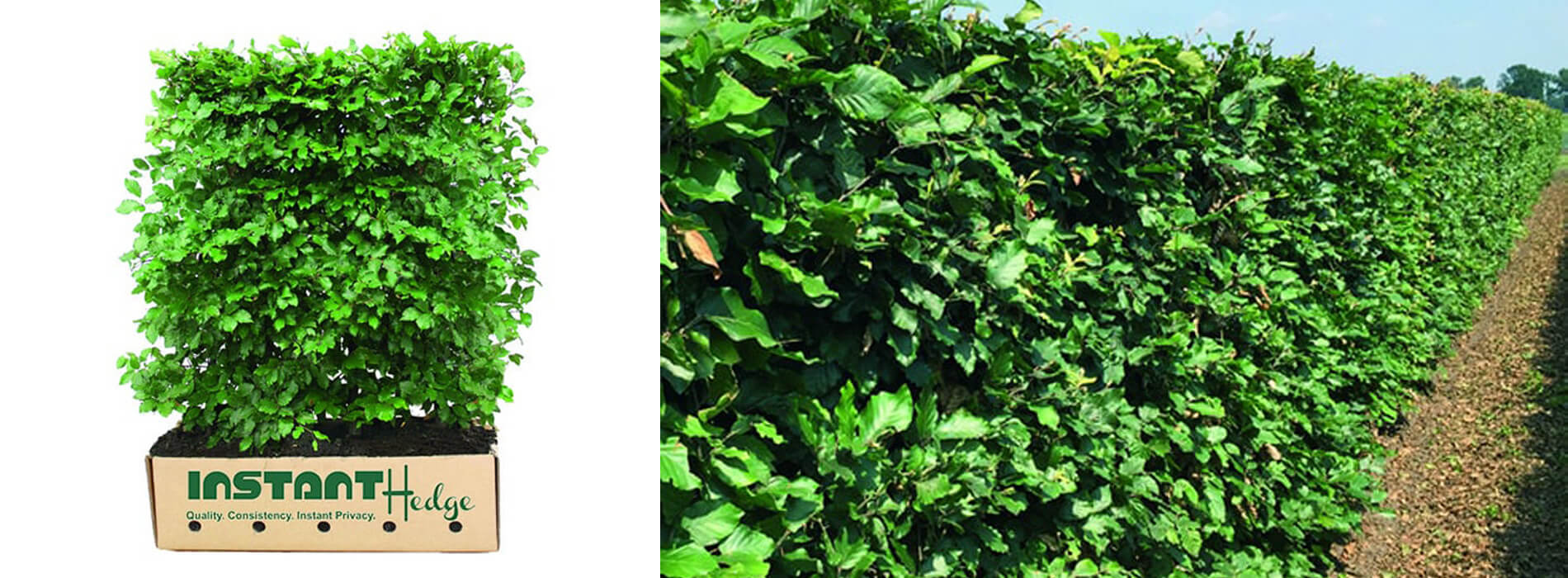 Fagus Sylvatica: Buy European beech Hedge available for sale at best prices