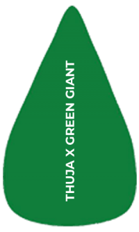 Arborvitae hedge plants