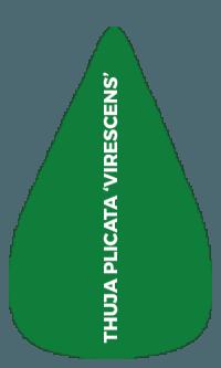 Thuja Plicata 'Virescens'