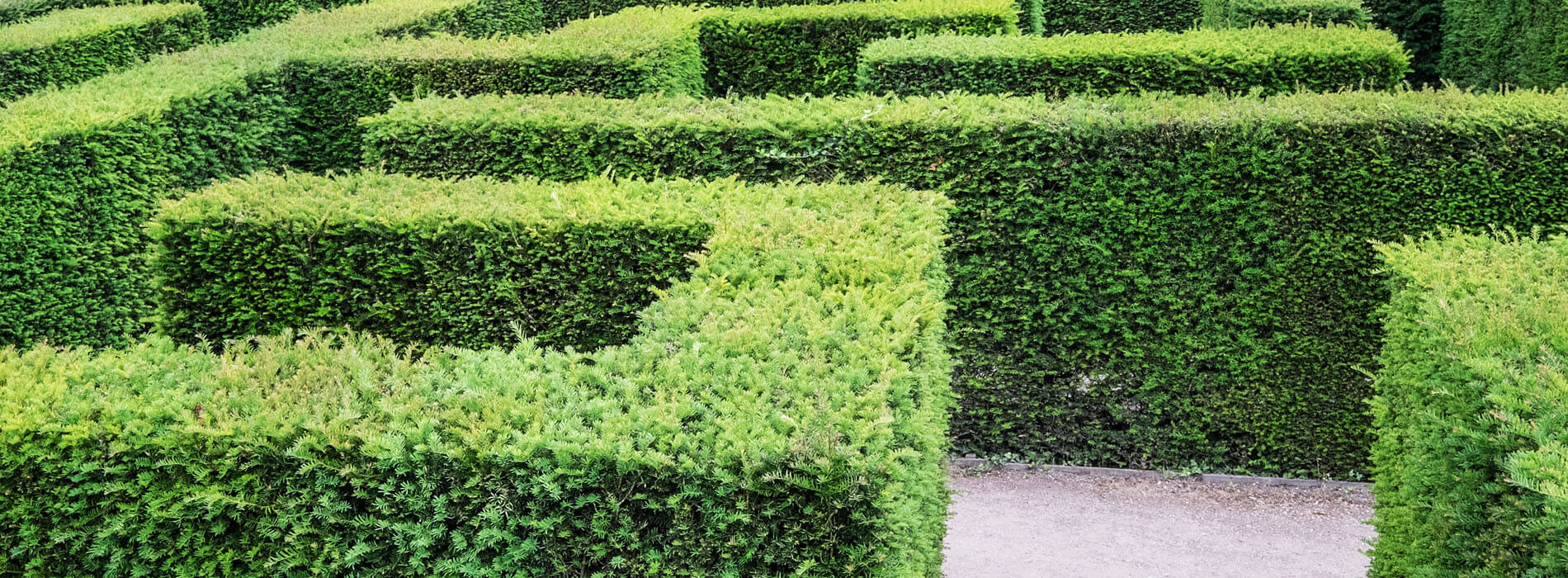 yew shrub: Buy Yew Hedge available for sale at best prices.