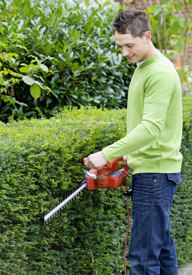 Hicks Yew Hedge care and maintenance. Pruning yew shrub guide.