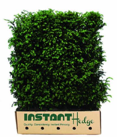 Hicks Yew Hedge