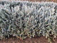 deer resistant hedges: Buy deer resistant Shrubs at best prices