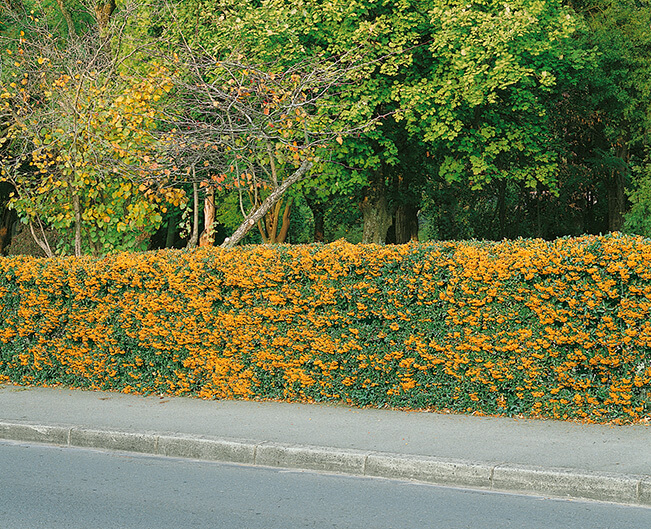 hedging plants for shade. Firethorn varieties are great fast growing evergreen shrubs for shade.