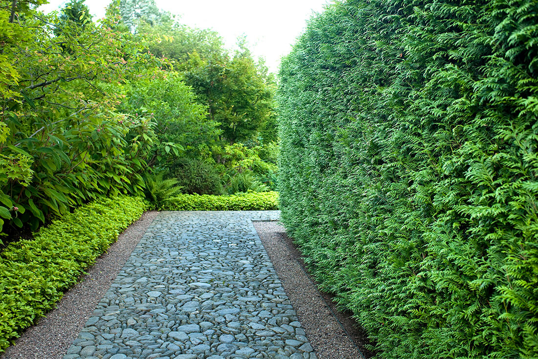 hedges for shade. Makes one of the best tall shrubs for shade