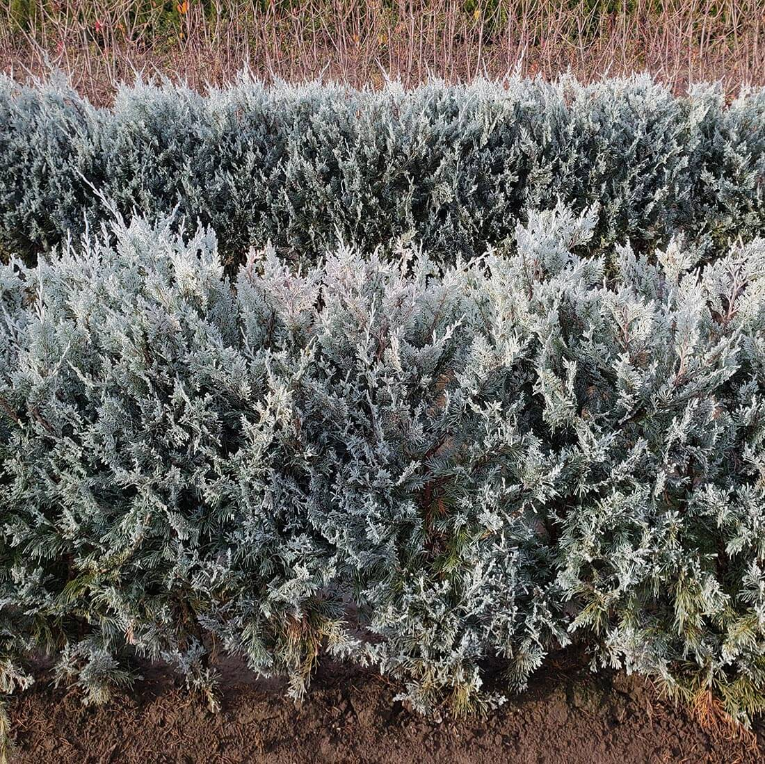 Wichita Blue rocky mountain juniper hedge evergreen cold hardy