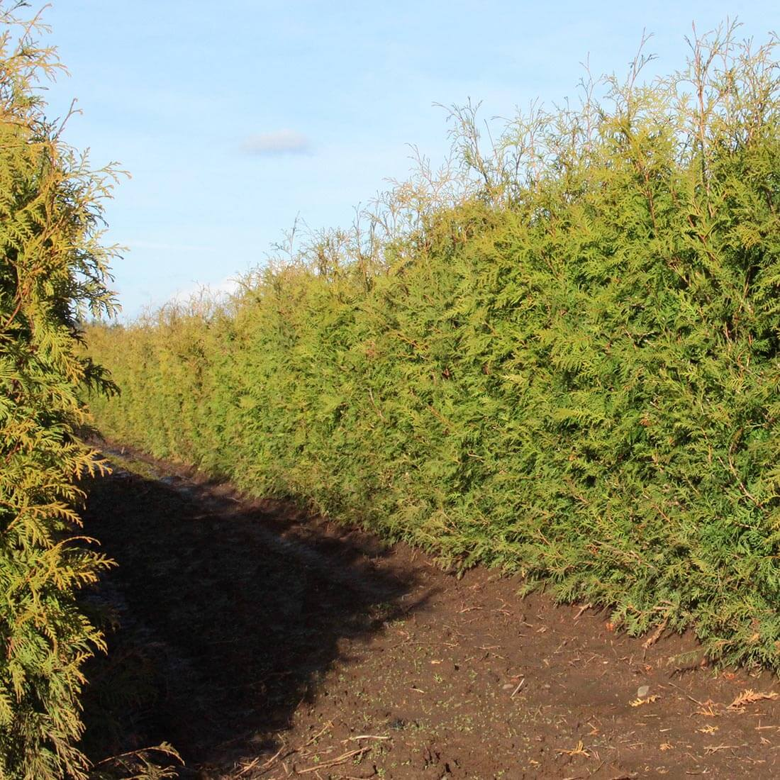 Thuja occidentalis American Arborvitae hedge cold hardy evergreen