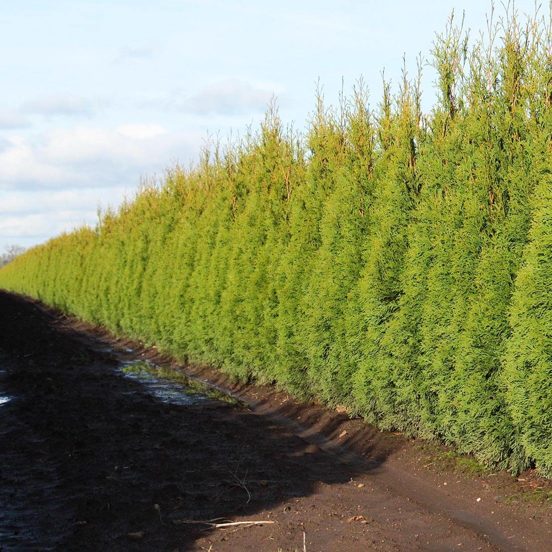 Thuja Smaragd Emerald Green Arborvitae hedge cold hardy evergreen
