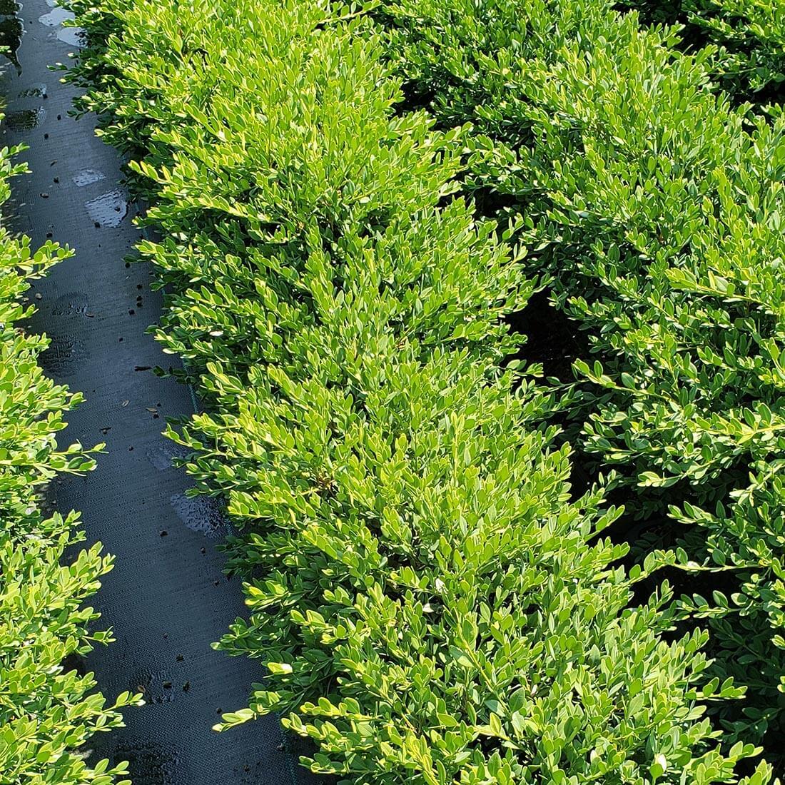 Buxus Green Mountain Boxwood hedge cold hardy evergreen deer