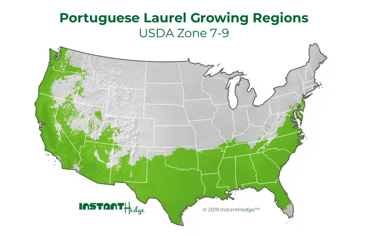 Prunus lusitanica growing region- Portuguese laurel is ideal for USDA zone 7-9