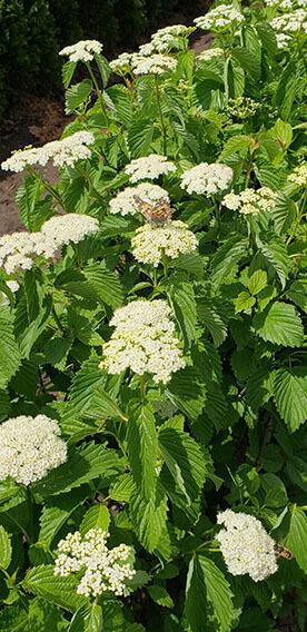 Viburnum dentatum Arrowwood Spring Flower Hedge Pollinators Bee Butterfly May 2019 (10)
