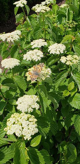 Viburnum dentatum Arrowwood Spring Flower Hedge Pollinators Bee Butterfly May 2019 (11)