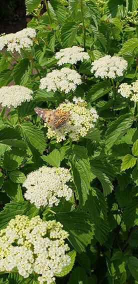 Viburnum dentatum Arrowwood Spring Flower Hedge Pollinators Bee Butterfly May 2019 (12)
