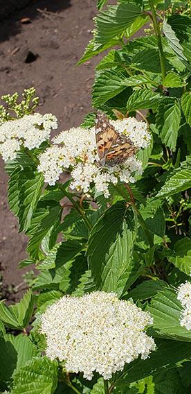 Viburnum dentatum Arrowwood Spring Flower Hedge Pollinators Bee Butterfly May 2019 (14)