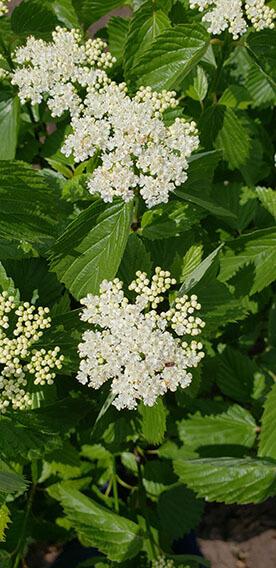 Viburnum dentatum Arrowwood Spring Flower Hedge Pollinators Bee Butterfly May 2019 (4)